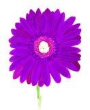 Фиолетовый gerbera на желтом цвете, акварель Стоковая Фотография