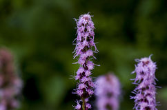 Фиолетовый Liatris Стоковые Изображения RF