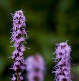Фиолетовый Liatris Стоковое Изображение