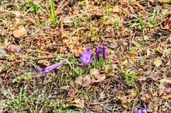 Фиолетовый mauve завод цветка крокуса в зеленом растении поля, коричневом Стоковые Изображения RF