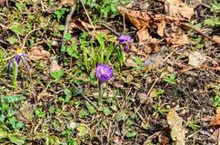 Фиолетовый mauve завод цветка крокуса в зеленом растении поля, коричневом Стоковое Изображение RF