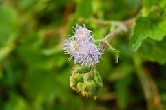 Фиолетовый odorata Chromolaena (общий цветок зубочистки) стоковые фото