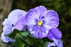 Фиолетовый Pansy цветет предпосылка Стоковое Изображение