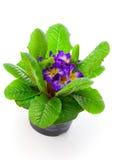 Фиолетовый primula Стоковая Фотография