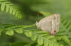 Фиолетовый quercus Favonius бабочки Hairstreak садился на насест на папоротник-орляке Стоковое фото RF