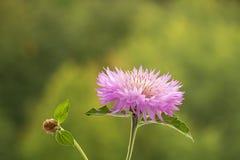 Фиолетовый stokesia цветка стоковое изображение rf