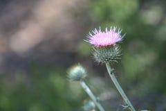Фиолетовый thistle в одичалые 2 Стоковое Фото