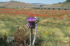 Фиолетовый thistle и красный мак цветут на поле, острословии ландшафта Стоковые Изображения