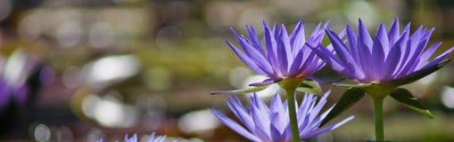 3 фиолетовых лилии воды на праве Стоковое Изображение RF
