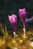 2 фиолетовых крокуса в горах Стоковые Изображения