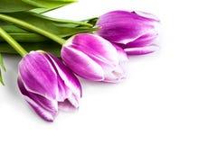 3 фиолетовых тюльпана изолированного на белизне Стоковые Фото