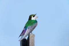 Фиолетов-зеленая ласточка - мужчина Стоковое фото RF