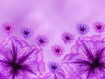 Фиолетов-розовые цветки, на предпосылке запачканной пинком closeup яркий состав флористический иллюстрация вектора