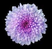 Фиолетов-розов-голубая хризантема цветка, цветок сада, чернит изолированную предпосылку с путем клиппирования closeup Отсутствие  Стоковая Фотография
