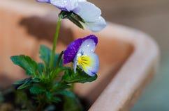 Фиолеты в вазе Стоковое Изображение