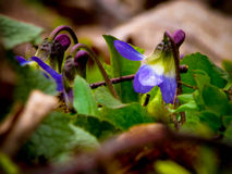 Фиолеты леса Стоковые Изображения RF