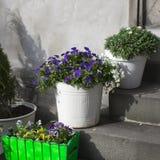 Фиолеты, маргаритки в белых ведрах на шагах кафа как украшение Стоковые Фотографии RF