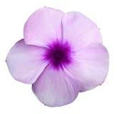 Фиолеты пурпура цветка Предпосылка изолированная белизной с путем клиппирования closeup Отсутствие теней Стоковое Изображение