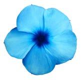 Фиолеты сини цветка Предпосылка изолированная белизной с путем клиппирования closeup Отсутствие теней Стоковые Фото