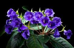 Фиолеты Стоковое Изображение RF