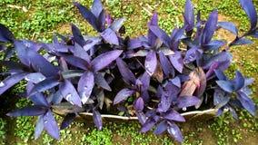 фиолеты Стоковое Изображение