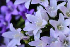 Фиолет и покрашенные белизной колокольчики колокольчика стоковое изображение rf