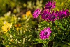 Фиолет маргаритки Стоковое Изображение