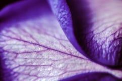 Фиолет поднял Стоковые Изображения