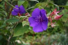Фиолет принцесс Цветка стоковая фотография rf
