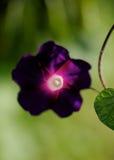 фиолет утра славы цветка цвета предпосылки естественный Стоковое Изображение