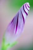 фиолет утра славы цветка цвета предпосылки естественный Стоковые Изображения