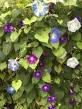 фиолет утра славы цветка цвета предпосылки естественный Стоковая Фотография RF