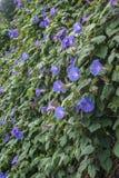 фиолет утра славы цветка цвета предпосылки естественный Стоковое Фото
