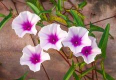 фиолет утра славы цветка цвета предпосылки естественный Стоковое Изображение RF