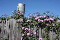 фиолет утра славы цветка цвета предпосылки естественный Стоковые Фото