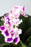 Фиолет цветка африканский Стоковое фото RF