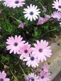 Фиолет bogota улицы сада Стоковые Фото