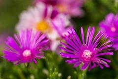 Фиолет Delosperma Стоковое фото RF