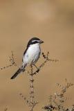 Фискальное Shrike, общее фискальное против запачканной естественной предпосылки Стоковая Фотография