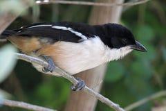 Фискальное Shrike (collaris Lanius) Стоковые Изображения