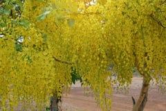 Фистула кассии в желтом цветени летом стоковые фото