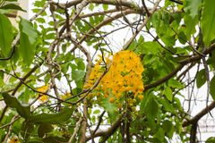 Фистула кассии Дерево золотого ливня в естественное красивом на предпосылке голубого неба Стоковые Изображения