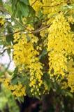 Фистула кассии или деревья Amaltas цветок цветка красивый желтый обыкновенно золотой в индийском заводе улицы на летний день стоковые фото