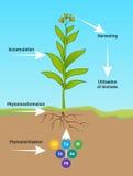 Фиторемедиация Phytotransformation Стоковые Изображения