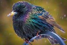 Фидер задворк Starling Стоковые Фото