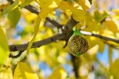 Фидер птицы на дереве Стоковое Изображение