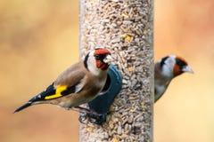 Фидер Goldfinch Стоковые Фото