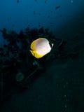 Филиппинские секреты Seraya butterflyfish Стоковая Фотография RF