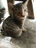 Филиппинский кот Стоковые Фото