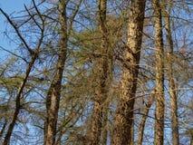 Фламандская солнечная елевая деталь леса на голубом небе стоковые изображения